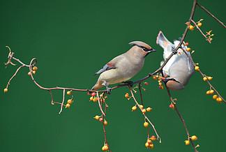 清脆鳥叫聲音頻素材