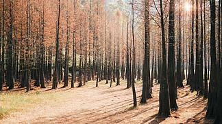 廣州大夫山森林紅羽杉