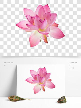 粉红色的荷花素材