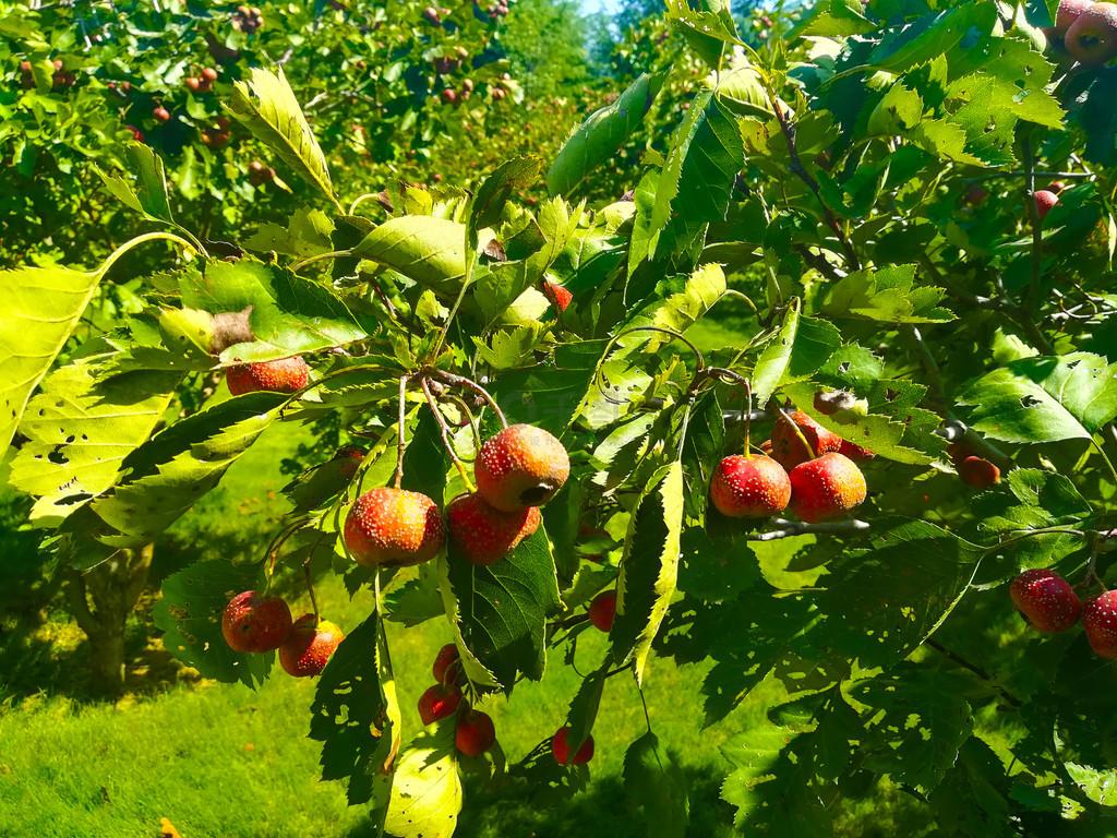 果園紅山楂攝影圖