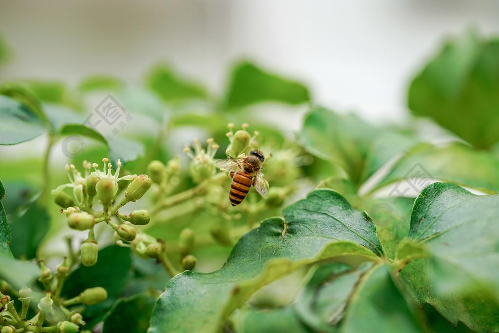 教案小西瓜采蜜蜜蜂v教案图蚂蚁植物免费下载_高清和动物昆虫图片
