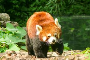 野生动物笨拙又可爱的小熊猫摄影图片素材