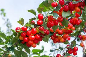 采摘园树枝上的樱桃