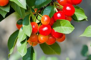 新鲜采摘的樱桃采摘园