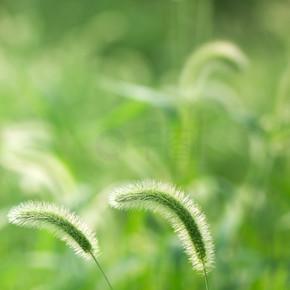 夏日迎风而动的狗尾巴草