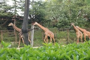 野生动物走路的长颈鹿群