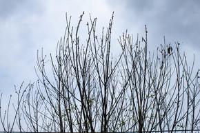 阴天拍摄桃花树枝干素材图