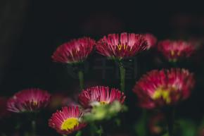 夜景粉紫红色雏菊花朵光晕