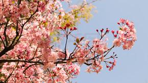 春季盛开粉色美丽垂丝海棠优雅植物花卉