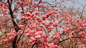 春季盛开的美丽樱花一片樱花海树林花卉植物