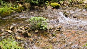 溪流中的一丛植物大自然深山老林石头小溪