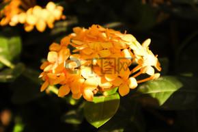阳光下盛开的金黄色龙船花花卉植物自然