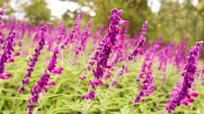 春季盛开的紫色薰衣草美丽的紫色花