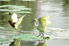 荷塘上的池鹭与白鹭