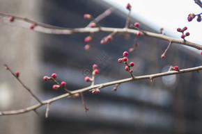自然风景红梅摄影图