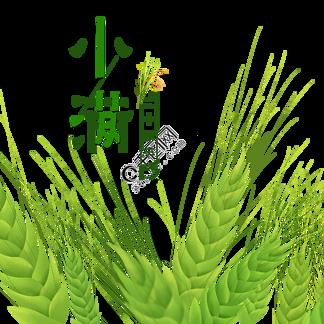 小满节气绿色小麦