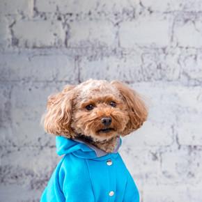 棕色的小搞笑狗与玩具狗的卷曲头发品种在狗的衣服摆姿势。主题配件和时尚服装的宠物。时尚的工作服,适合动物的寒冷天气