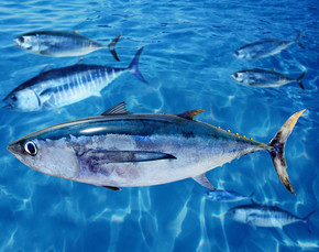 长鳍金枪鱼鳍鱼和蓝鳍金枪鱼