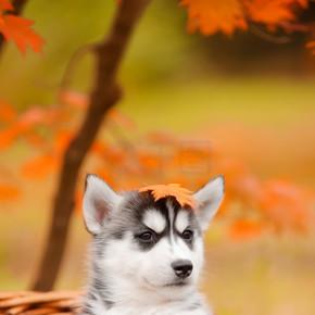 赫斯基在篮子里的小狗
