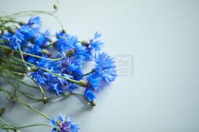 美丽的蓝色花朵的矢车菊,特写