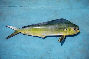 美丽的颜色和全身的普通 dolphinfish 在蓝色的木材