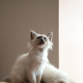 两只蓝眼睛的白长毛鸟猫的肖像.
