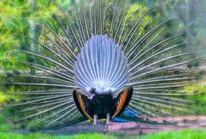 野生动物保护区里的孔雀。雄性有长长的闪亮的绿色羽毛, 每根羽毛都有绿色、红色、青铜和棕色, 当尾巴舞展开形成纳米管以吸引雌性时.