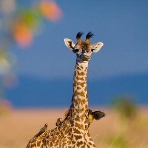 在户外的稀树草原长颈鹿