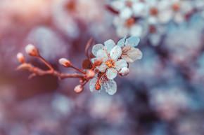 樱花花, 小白花小花在模糊的花卉背景, 春天果园的新鲜和脆弱, 春天的季节之美