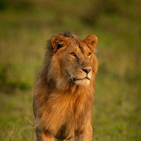 雄狮站在那里环顾四周