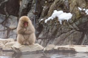 猴在天然温泉, 温泉, 坐落在雪猴, 长野日本.