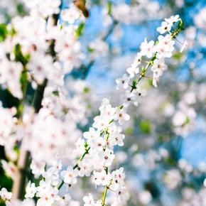 樱花和蓝天, 白色的花朵作为自然的背影