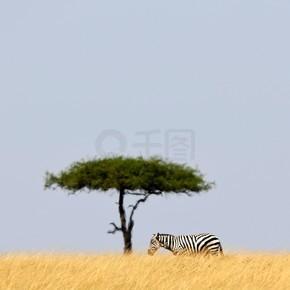 斑马与猴面包树在自然栖息地