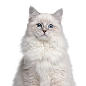 5 个月大,在白色背景前布娃娃小猫