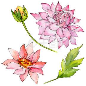 孤立的水彩风格野花紫菀花.