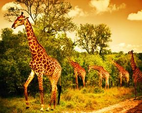 南非洲长颈鹿