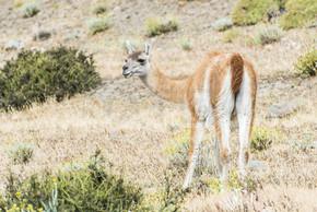 好奇的原驼喇嘛 (喇嘛 guanicoe) 在阿根廷无尽的草原上