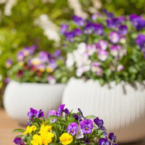 美丽的三色堇夏天花在花园里的花盆