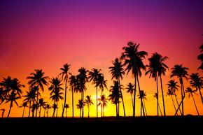 silhuett av kokosn?t tr?d under solnedg?ngen