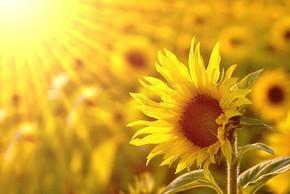 田野里的向日葵