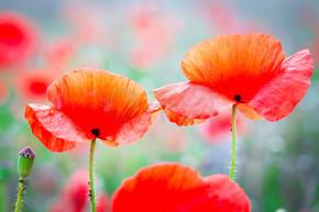罂粟开花的花