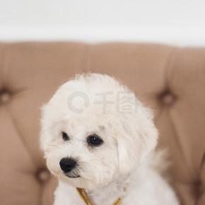 把小白雪公主关起来,把目光移开。白色的小狗坐在棕色的扶手椅上