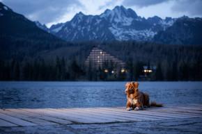 狗在湖边的一座木头桥上,在山脉的背景上。夜景。带着宠物在大自然中旅行