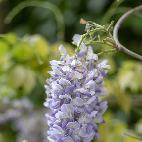 Detail of Wisteria floribunda flowers grapes in bloom, early summer violet purple flowering tree
