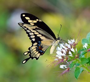 巨型燕尾蝶 (凤蝶 cresphontes)