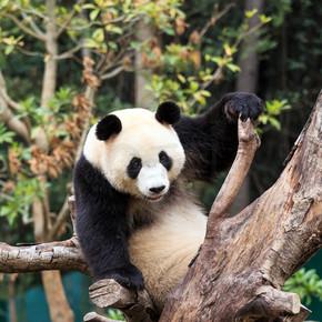 大熊猫是中国的国宝