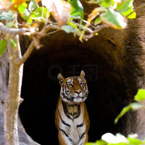 一个野生老虎.