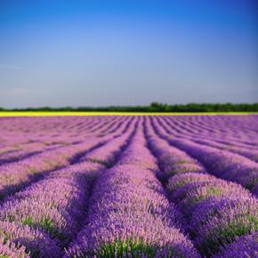 在普罗旺斯的薰衣草田地