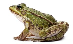 常见的欧洲青蛙或食用蛙,蛙 kl。菌,在白色背景前