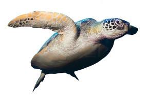 孤立在白色背景上的绿色海龟游泳